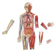 Cuerpo humano doble cara magnética el conjunto