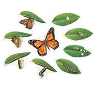 El ciclo de la vida de la mariposa el conjunto