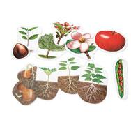 El ciclo de la vida de las plantas el conjunto